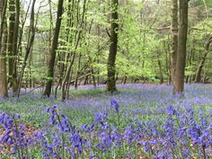 Bluebell woods at Aston Rowant National Nature Reserve