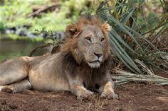 Lion, Meru National Park