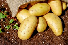 Potato crop mapping