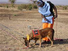 Landmine sniffer dog