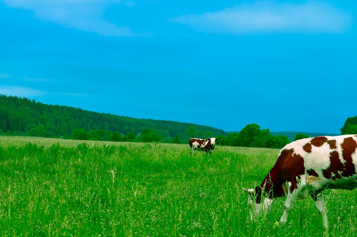 https://www.realwire.com/writeitfiles/cows_grazing.jpg