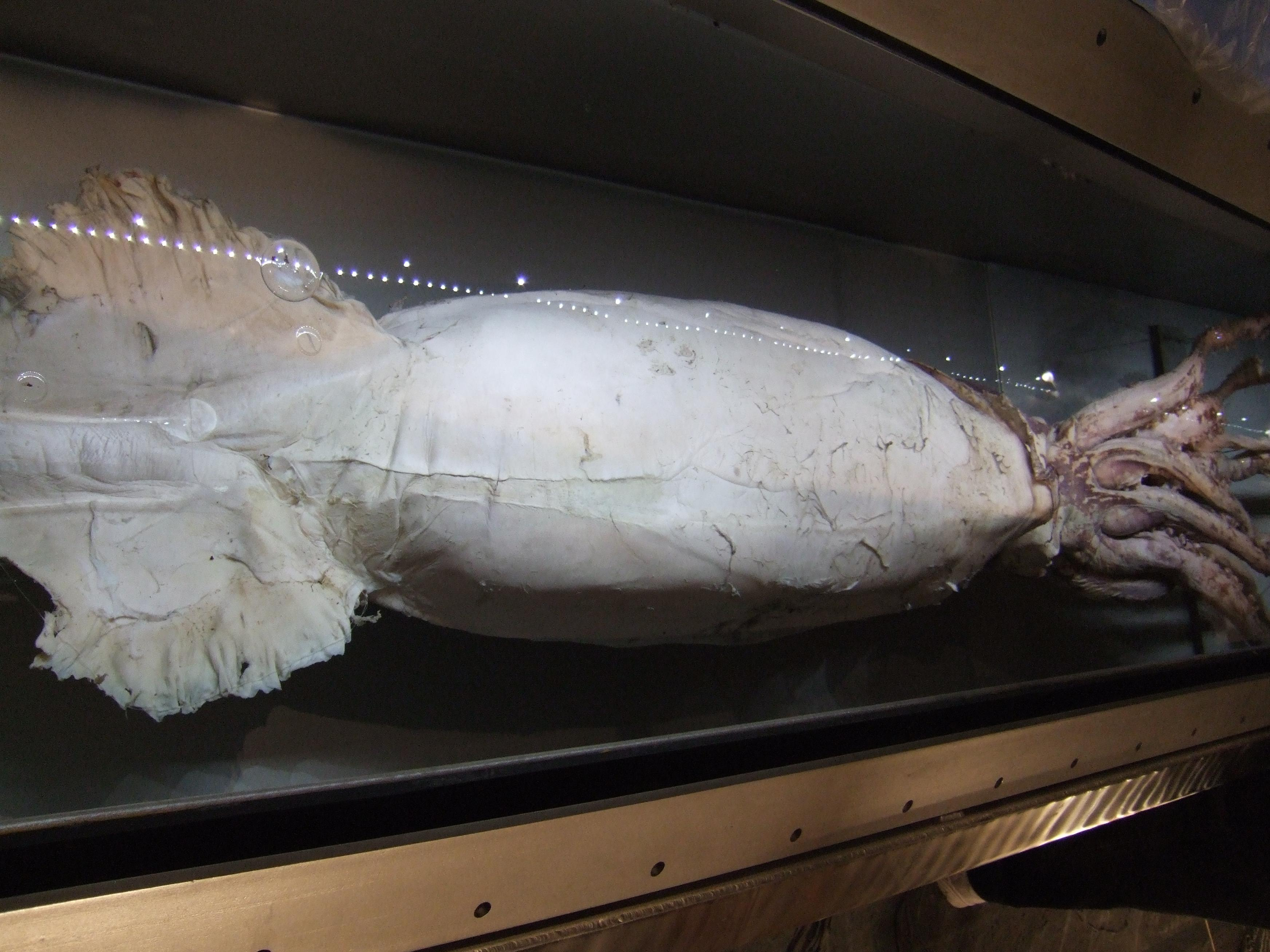 3M Novec Engineered Fluid Preserves World's Largest Squid